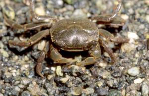 The Mud Crab